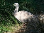 Title: The Cape Barren Goose