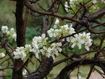 Title: Pear tree blossom