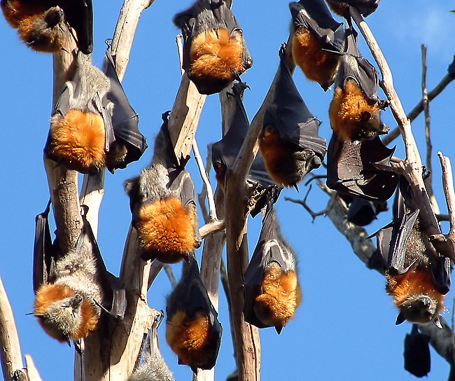 Flying foxes!