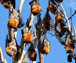 Title: Flying foxes!