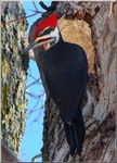 Title: Pileated WoodpeckersSony Cyber-shot DSC-H5