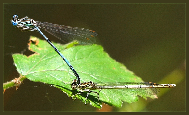 Two damselflies