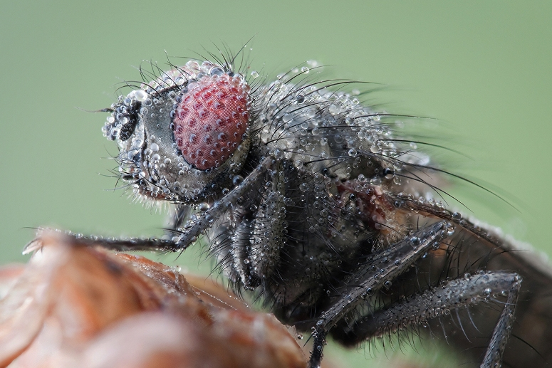 Fly covered in dew