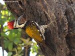 Title: Golden Backed Woodpecker