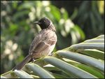 Title: Red Vented Bulbul