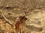 Title: Spotted Deer Male
