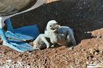 Title: blue footed booby chick