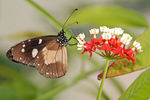 Title: Common Crow - Euploea coreNikon D80