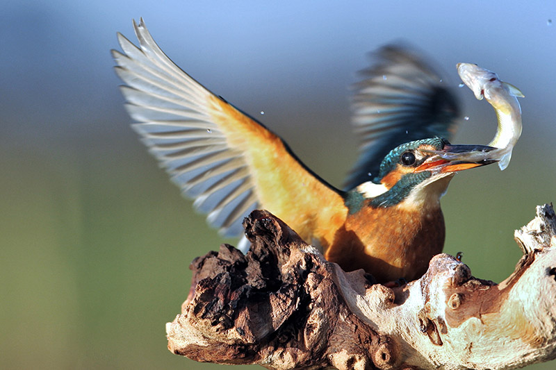 Kingfisher nearly there