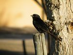 Title: Fork Tailed Drongo
