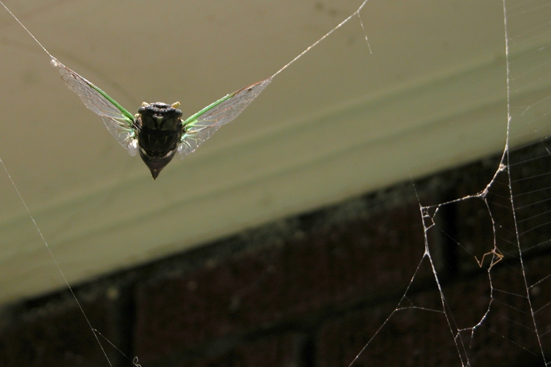 Cicada Caught in a Spider Web