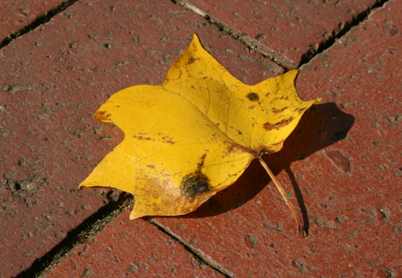 Yellow Poplar Leaf