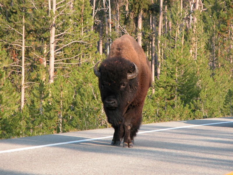 Yellowstone Bison in the Road