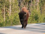 Title: Yellowstone Bison in the Road