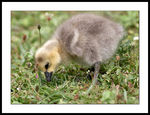 Title: Gosling