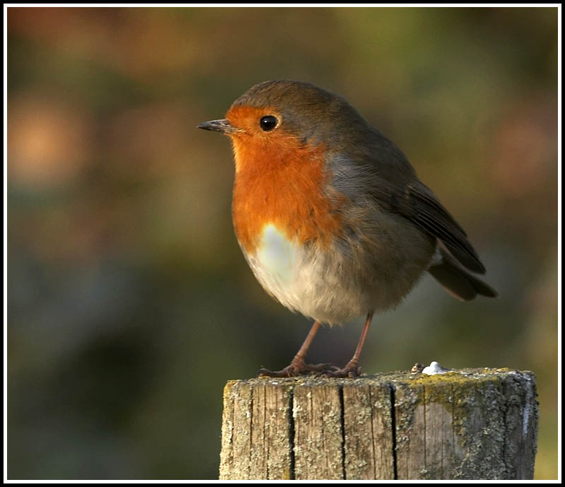 Robin on a post