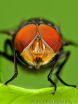 Title: Greenbottle Fly - (Lucilia caesar)