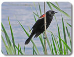 Title: Red-winged Blackbird
