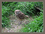 Title: Burrowing Owl
