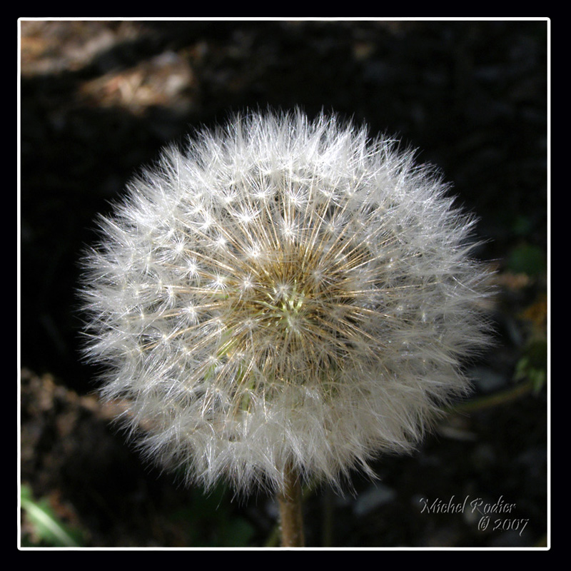 Dandelion in snowball stage