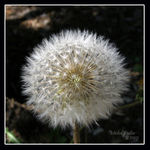 Title: Dandelion in snowball stage
