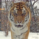 Title: Tiger in the snow