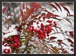Title: Frosted Dogberries