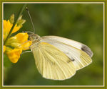 Title: The Large White