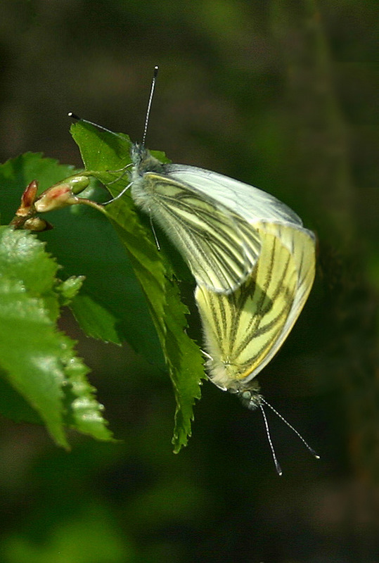 The Green-veined