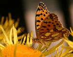 Title: The Queen of Fritillary