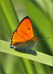 Title: Scarce Copper