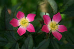 Title: Dog Rose