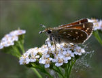 Title: Spotted skipper