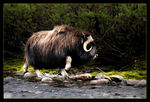 Title: Musk Ox