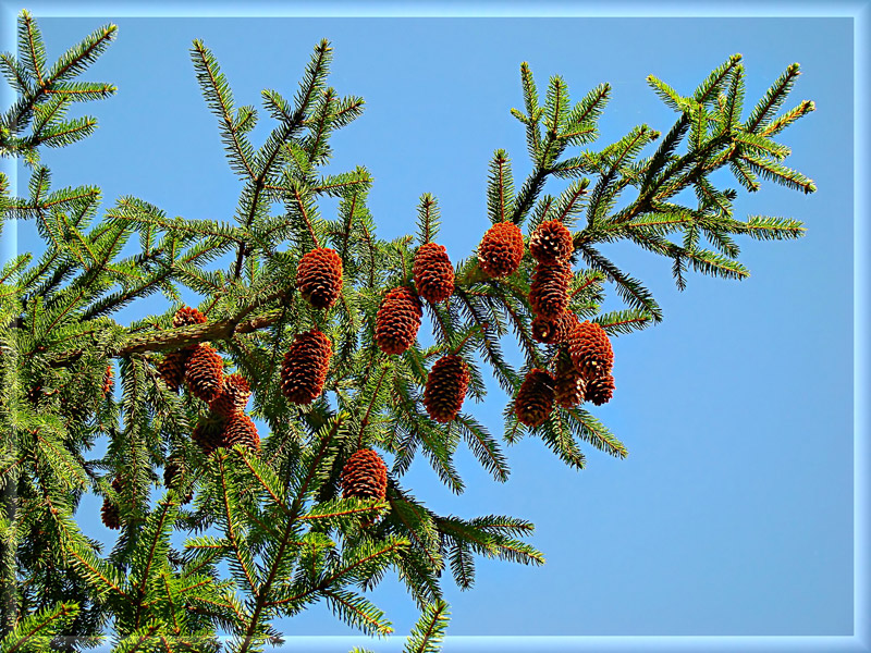 Fir-twig with cones