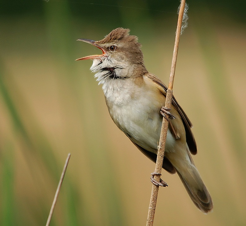 GREAT REED WARBLE