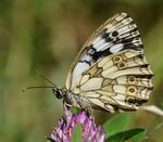 Title: MARBLED WHITE Camera: Nikon D300