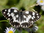 Title: MARBLED WHITE - open wings