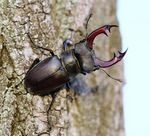 Title: STAG BEETLE