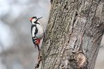 Title: SYRIAN WOODPECKER