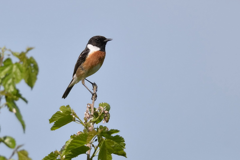 EUROPEAN STONECHAT MALE