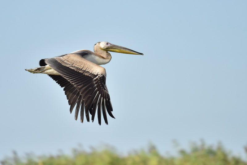 GREAT WHITE PELICAN - juvenile