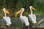 Title: GREAT WHITE PELICAN
