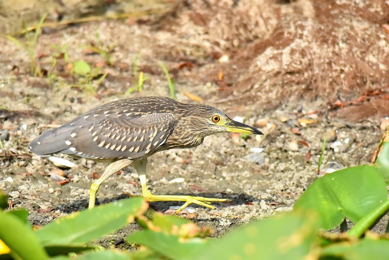 NIGHT HERON - JUVENILE