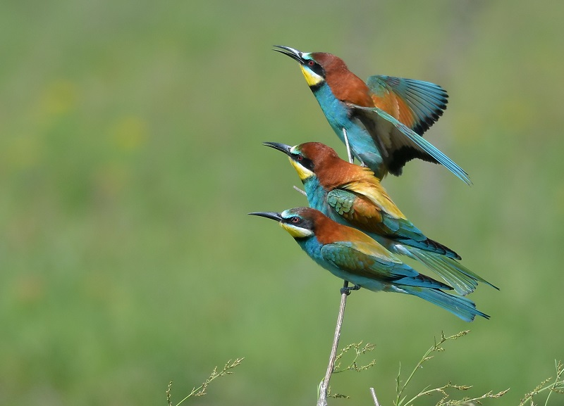 BEE EATER - MY 600TH POST