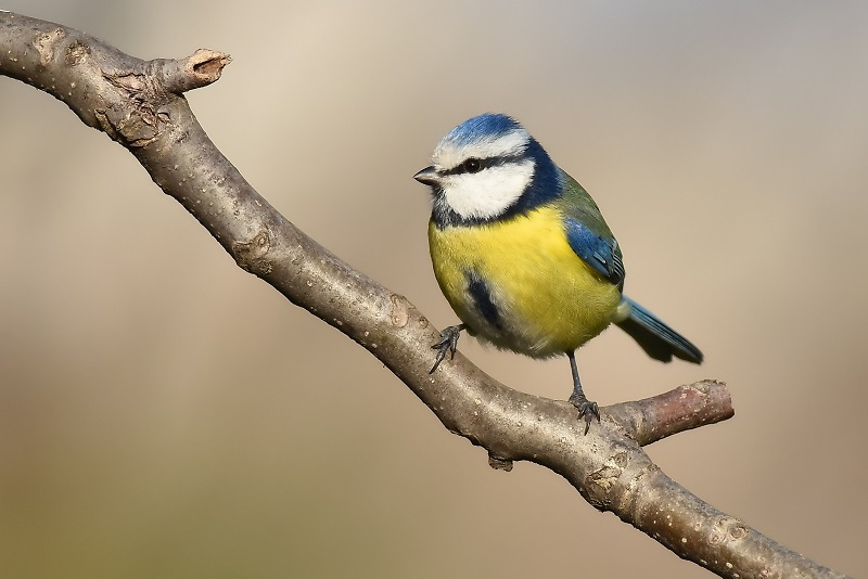 BLUE TIT - HAPPY NEW YEAR....