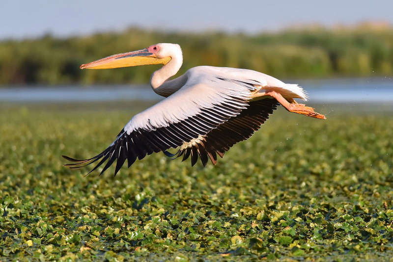 GREAT WHITE PELICAN - MY 800TH POST