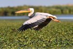 Title: GREAT WHITE PELICAN - MY 800TH POST