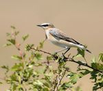 Title: NORTHERN WHEATEAR
