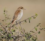 Title: RED BACKED SHRIKE - FEMALE